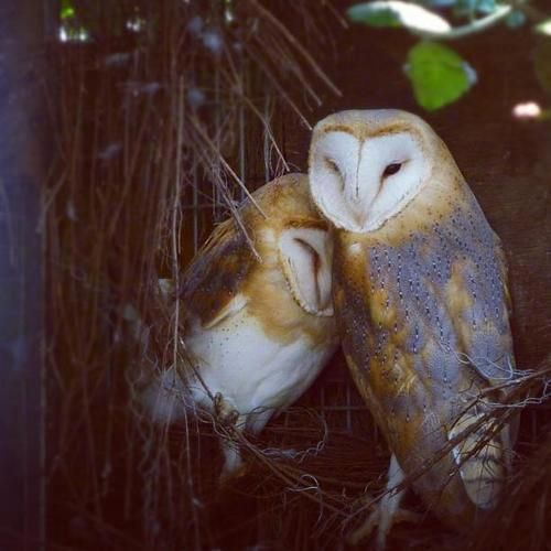 I have an owl living on my street.  Although I've not been able to see her, I hope she is this pretty.