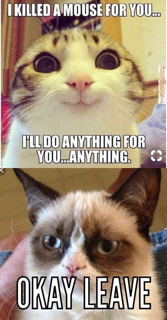 These Kittens Will Brighten Your Day Cats Are Wonderful Companions Prettycats Funny Grumpy Cat Memes Funny Cat Faces Grumpy Cat Humor