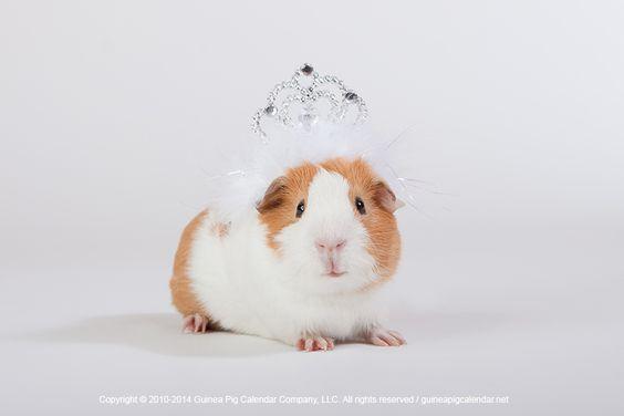 Guinea Pig Princess  #Princess #GuineaPig