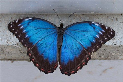Blue Morpho (Morpho peleides) - The brilliant blue is caused by a diffraction of the lights rays by the scales on its wings.
