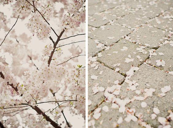 Cherry Blossoms at the University of Washington.