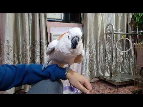 ببغاء مولوكو Moluccan Cockatoo أجمل مشاجرة بين ابن عمي ومولوكان تخريج وتلقين مؤيد امازون Youtube Parrot Animals Bird