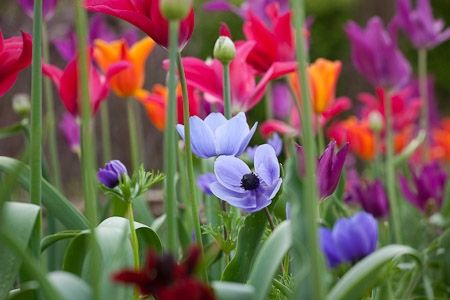 Anemone coronaria 'Cristina' amongst tulips and alliums in the vegetable garden at Perch Hill. Tulipa 'Burgundy', T.'Ballerina' and T.'Violet Bird'