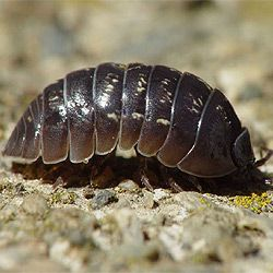 How to get rid of pill bugs since they are eating my - How to get rid of bugs in garden ...