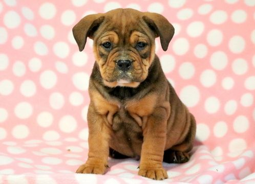English Bulldog Rottweiler Mix Puppy For Sale In Mount Joy Pa