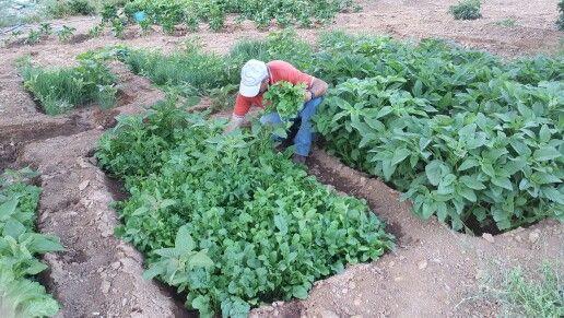 Ο Στέλιος μαζεύει βλήτα (green salad just picked from stelios )