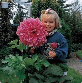 Dinner Plate Dahlia Emory Paul  Bloom Time: Mid Summer - Frost   Hardiness Zone: 8 - 10   Height: 36″ - 48″   Color: Pink   Size: Large No.1 size clumps   Light Requirements:  Sun   Attributes:  Cut Flower   Garden Guide: Dahlias