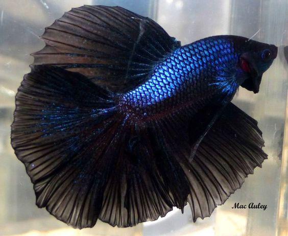 bettas | Black Betta Fish | Bettas Fish | Muchpics | Betta ...
