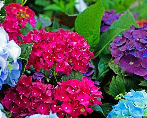 Miniaturowa Hortensja Bukietowa Confetti Do Donic 7883493167 Allegro Pl Flowers Plants Rose