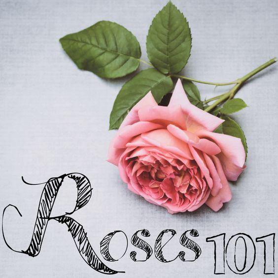 Fragrant Blush In 2021 Fragrant Roses Light Pink Rose Fragrant