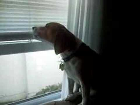 Beagle Howling To Siren Beagle Planet In 2020 Beagle Beagle