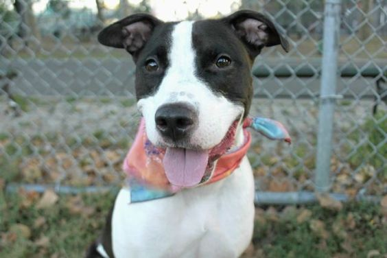 """ASHA aka SYBIL - A1063074 - - Manhattan  Please Share:TO BE DESTROYED 09/13/16**RETURNED AND NOW AT RISK!**A volunteer writes: """"Asha"""" is a name derived from Sanskrit meaning, """"wish,"""" """"desire,"""" and """"hope."""" 2 year-old Asha must be full of all three. On a recent evening Asha is easily leashed and off we go on our way to the park. I'm instantly struck by her beauty. She is a black and white nymph, lithe and elegant at only 5"""