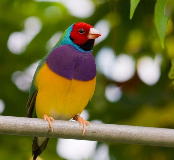 Gouldian Finch | 22 Colorful Animals Who Look Too Beautiful To Be Real