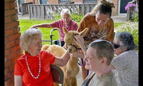 Little alpaca love going on at smithville western manor in wooster