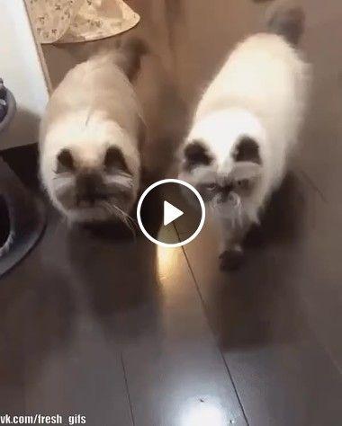 Filhote de gato corre com os pais
