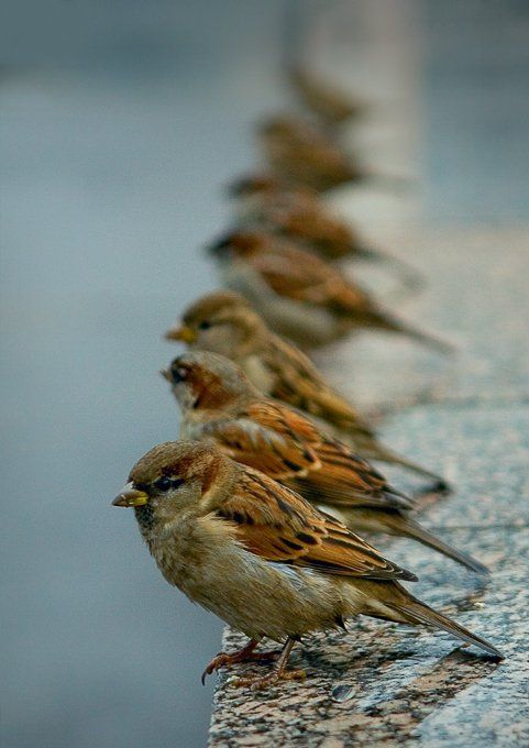 house sparrows - cute!