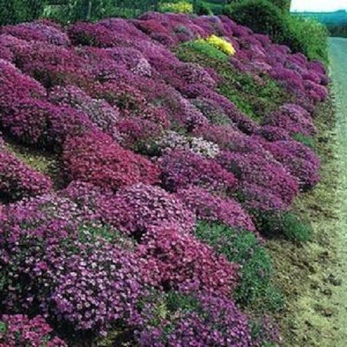 100 Rock Cress Seeds Cascading Red Purple Mix Aubrieta Seeds Perennial Ground Cover Plants Ground Cover Seeds Flowers Perennials