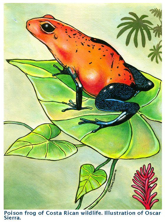 Ranita venenosa (Fauna de Costa Rica). Ilustración de mi autoría.
