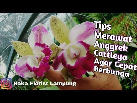 Tips Anggrek Cattleya Merawat Anggrek Cattleya Agar Cepat