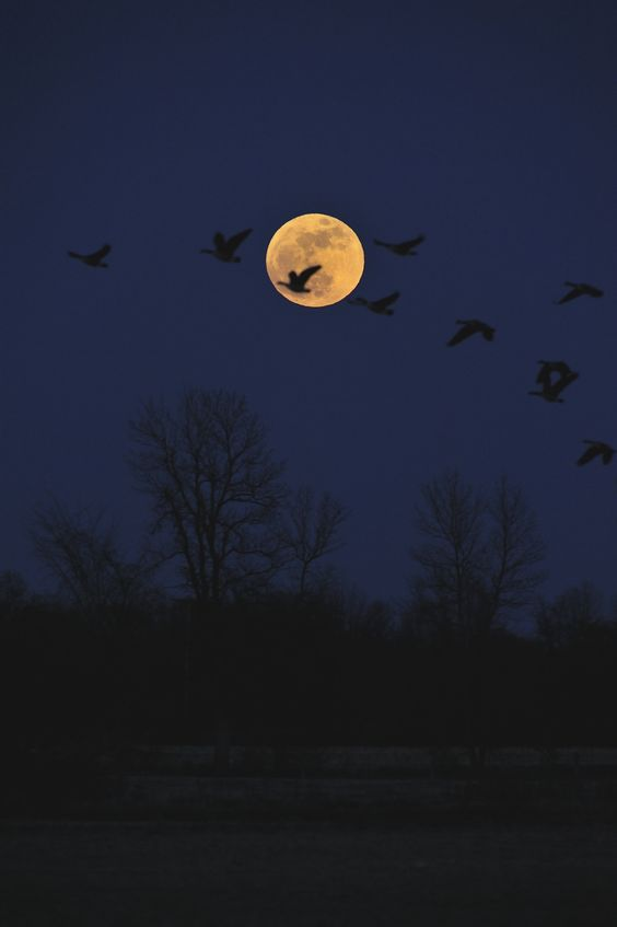 Supermoon With Canada Geese: