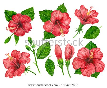 Collecion Red Hibiscus Flowers And Leaves Painted With Watercolors On White Background Elements For Design Buy Thi Hibiscus Hibiscus Leaves Hibiscus Flowers