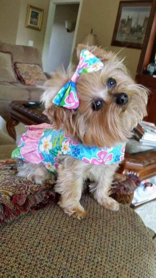 The Top 10 Cutest Yorkies Ever Cute Puppies Yorkie Yorkie Dogs