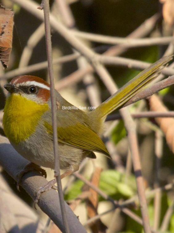 Rufous-capped Warbler (birdswesee.com).