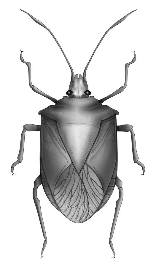Line Drawing Insects : Shield bugs line drawings and the order on pinterest