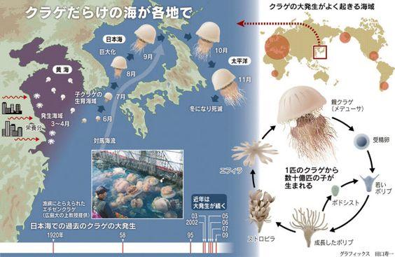 クラゲ襲来、引き金は中国 経済発展で護岸増える:日本経済新聞 Attack of jellyfish