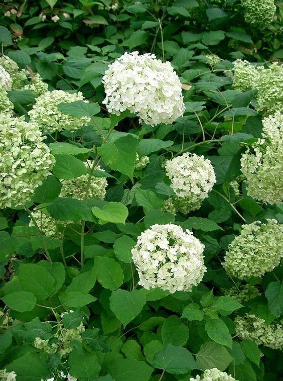 Vamos a ver algunos consejos para que estas magníficas plantas nos den el mayor número posible de flores y durante el mayor periodo de tiempo en que sea posible.