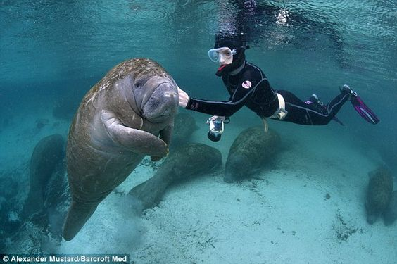 """A snorkeller tickles a young manatee near Crystal River, Florida, where the mammals gather in the winter to escape colder water"""