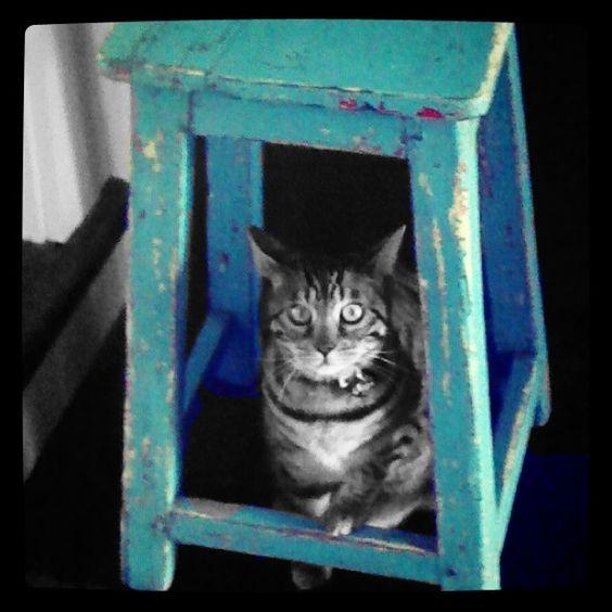 Sago #bengal #cat