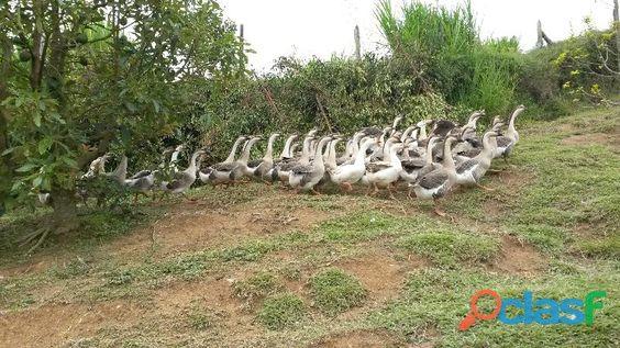 estamos en los ultimos dias con los precios actuales criadero de gansos pera