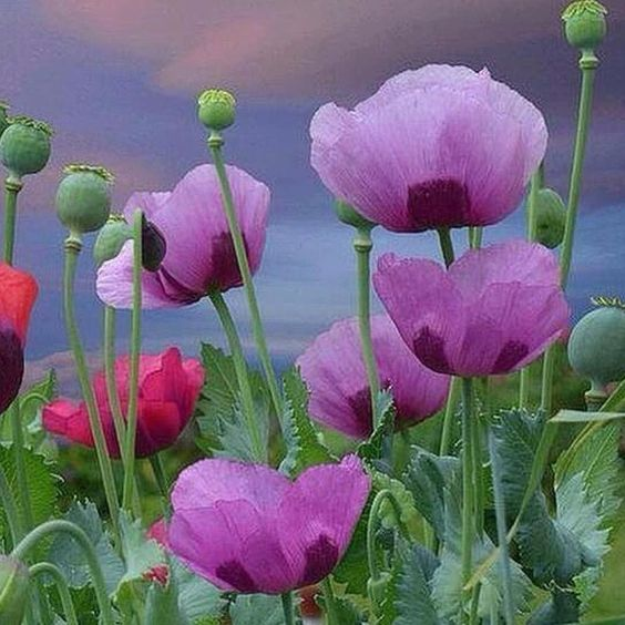 #Repost @corno_gabriele:Poppies #awesome #amazing #cool #colors #magic #majestic  #lit #light #love #life #Hope #Harmony #Horizons #Idyll #Imagine #Inspired #Incredible #Follow #PhotOfTheDay #Wonderland #Fairytale #poppies #meadow #mesmerized #enchanted