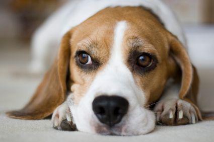 Beagle's.