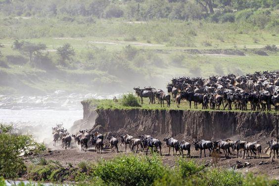 """Mehr als eine Million Gnus, Zebras und Gazellen ziehen alljährlich im Uhrzeigersinn durch die Serengeti in Tansania und durch die Masai Mara in Kenia. Die riesigen Herden müssen den Grumeti River durchqueren – die Krokodile lauern schon… Im September kämpfen sich Gnus und Zebras dann durch die Fluten des Mara River. Die Safari """"Auf den Spuren der großen Tierwanderung"""" von DIAMIR Erlebnisreisengarantiert zu jeder Jahreszeit ein besonderes Safarierlebnis."""
