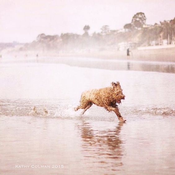 Who enjoys days at the beach the most? Has to be a tie between the dog and the kids. It's hard to get any of them out of the water, even in autumn weather!  #aptosbeachdogs #riodelmar #labradoodle #dogbeachday #instadogs #doglove #labradoodles_of_instagram #beachdog #dog