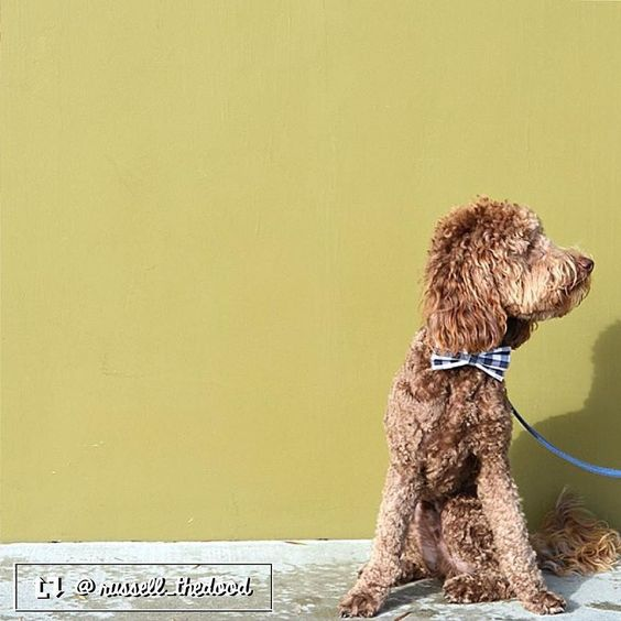 Russell the Australian Labradoodle from Marina del Rey CA