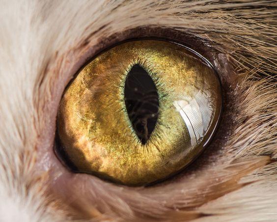 macrophotographies des yeux de chats par Andrew Marttila  2Tout2Rien