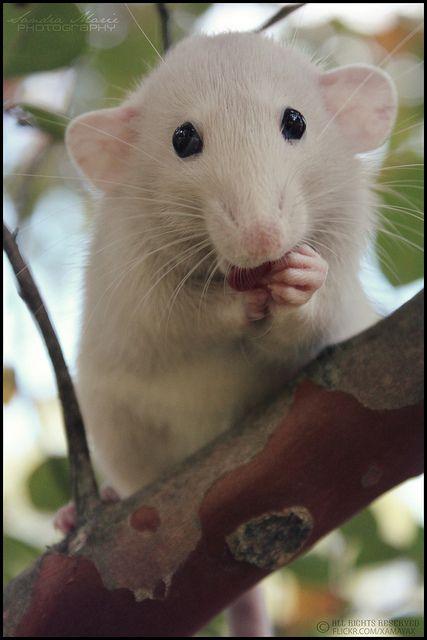 White rat with black eyes - photo#26
