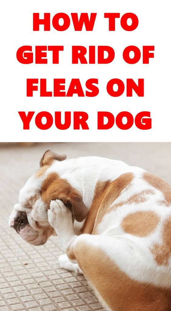 Pin By Viral Dog Club On Dog Cleaning And Grooming Fleas Dogs Your Dog