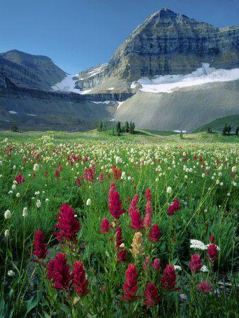 Paintbrush in Uinta National Forest, Wasatch Mountains, Mount Timpanogos Wilderness, Utah, USA