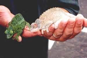 Rarest Albino Ever - Bing Images-Chameleon