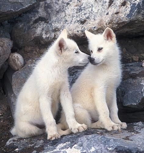 white wolf pups   White wolves   Pinterest   Wolves, White ... - photo#10