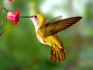 Le Colibri
