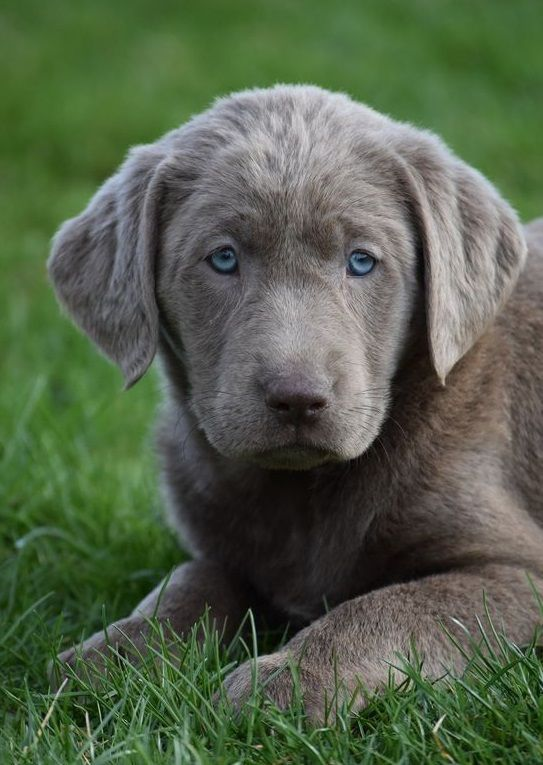 Silver Lab Puppies In 2020 Silver Lab Puppies Lab Puppies Golden Labrador Puppies