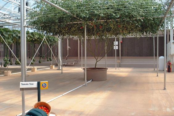 Tomato Tree - Orlando, Florida: Seed Tomato, Crimson Tomatoes, Green Garden Homestead, Plant Tomato, 194 Tomatoes, Seeds Grows