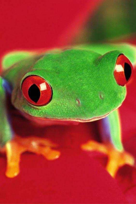 Curiosa, simpática y posiblemente una venenosa rana de la Amazonía ;-]