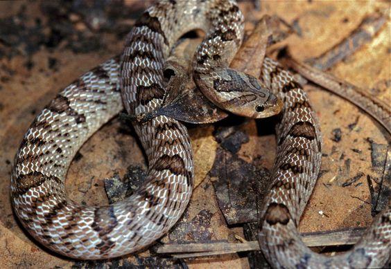 In Thailand troffen ze vreemde slangen aan die van binnenuit levend hun prooien eten