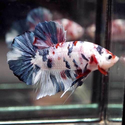 Live Betta Fish Fancy Multi Color Koi Halfmoon Plakat Hmpk Male 180 Betta Fish Betta Fish